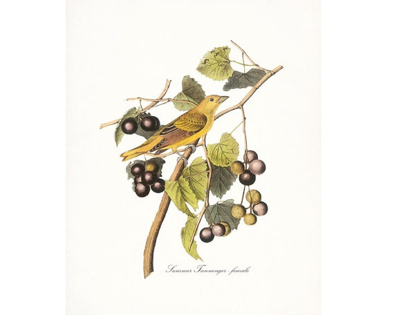 Audubon Vintage Bird Print,  Giclee Print, Summer Tanager - Female