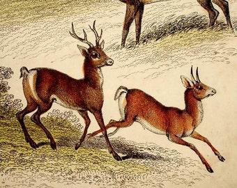 ANTIQUE DEER PRINT, 1860s hand colored engraving,animals,Reindeer,buck,doe,Tibetan,brown,beige,moss green,ivory,tan