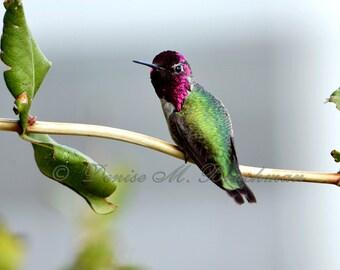 Anna's Hummingbird Fine Art Photograph - Bird Photography - Hummingbird Art - Nursery Art Kitchen Art - Green Bronze Copper