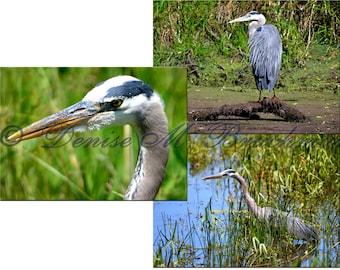 Great Blue Heron Print Set - Blue Heron Photo Set - Bird Photography - Great Blue Heron Art - Heron Decor - Bird Lover Gifts