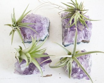 Bridesmaids Gift, Air Plants on Amethyst Crystal Chunks, Set of Four, Other Amounts Possible, Girl Gang Gift Idea, Made To Order