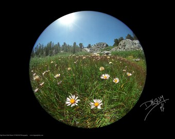 High Sierra Field Daisies Poster