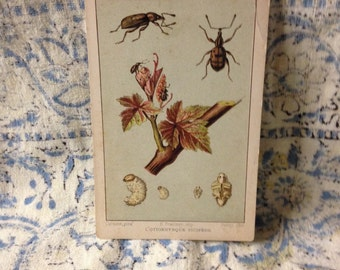 beetle learning card l'otiorhynque picipede vintage flashcard school french insect learning bug