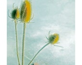 Instant Download Photo, Thistles in Winter, Blue Yellow, Color Print