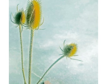 Golden Thistles, Instant Download Photo, Thistles in Winter, Blue Yellow, Color Print
