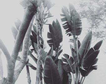 California Palm Tree Photograph, Black and White Eames Era, Modern Wall Art, Nature Photography, Mid Century Style Art, Desert Palm Tree
