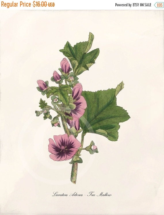 ON SALE Beautiful Antique Botanical Print - Tree Mallow 1 - Wall Art - Home Decor