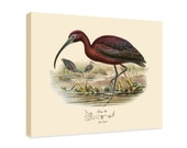 """Canvas Print - Glossy Ibis by John Gould (1804-1881) - 16"""" x 20"""" - On Stretched Canvas"""