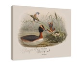 """Canvas Print - Horned Grebe  by John Gould (1804-1881) - 16"""" x 20"""" - On Stretched Canvas"""