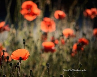 Red Poppy Art Flower Photography Poppy Print Nature Photo Print Red Olive Red Orange Poppy Print Poppies Shabby Chic Home Décor Wall Art