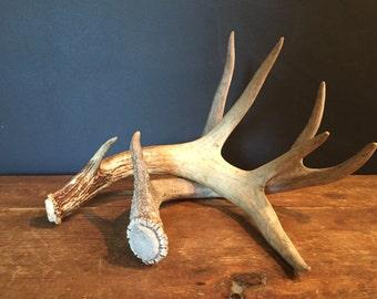Vintage Deer Antler shed