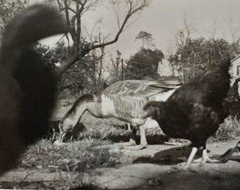 Original Vintage Photograph The Black Bird 1945