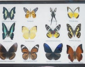 REAL 12 BEAUTIFUL BUTTERFLIES Collection Framed/BF16L
