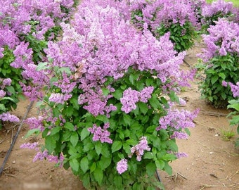 Late Lilac Tree Seeds, Syringa villosa - 25 Seeds