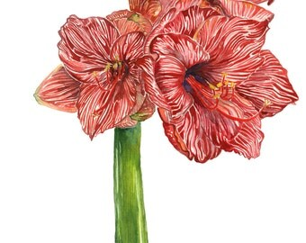 Amaryllis, botanical Watercolor, Fine art print