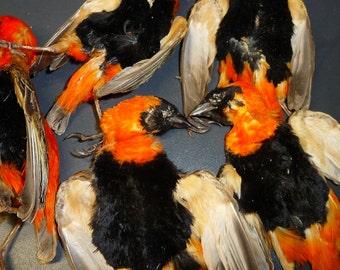 Taxidermy Red bishop bird skins