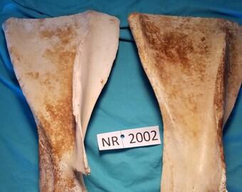 Cow Shoulder Blade - Cow Bone - Cow Taxidermy - NR2002