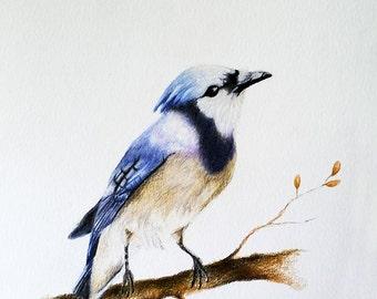 Original Colored Pencil Bird Drawing, Blue Jay bird art 5.5x8 inch