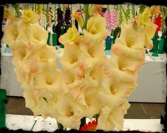 Gladiolus Bulbs - CREAM PERFECTION - Sword Lily - Great Cut Flowers - 6 Bulbs