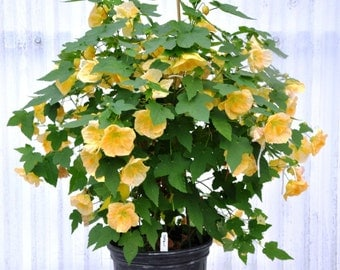 Lucky-Lantern-Plant-Red or Yellow Flowers, Easy to grow- hibiscus type