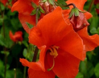 25+ Scarlet Mask Alonsoa / Perennial Flower Seeds