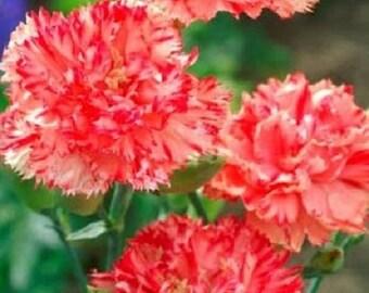 30+ Orange Shrebett Chabaud Carnation / Perennial Flower Seeds