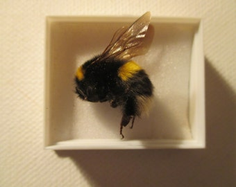 A preserved and mounted white tailed bumblebee,bombus lucorum,(female).
