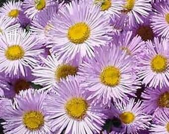 Erigeron - Pink Jewel -50 seeds
