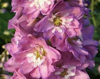 Delphinium Astolat-Pink Shades * Hummingbird Attractor!! 25 Seeds