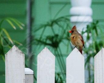 SALE Bird Photo // Cardinal Photo // Female Cardinal on White Picket Fence // Florida Nature Bird Photography Print