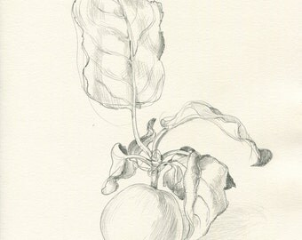 """Apple 1/2015 pencil drawing ORIGINAL Apple drawing (8 x 11""""), pencil line drawing. Apple fruits still life by Catalina S.A"""