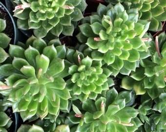 Medium Succulent Plant Echeveria Sleepy Hybrid Rich Green Rosette