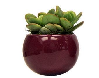 "Magnetized Merlot Planter with Live Plant - 3 x 3 x 5"" - Purple"