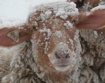 Snowy Ewe Cards-4 pack Tunis Sheep, Winter Scene, Snow, Sheep