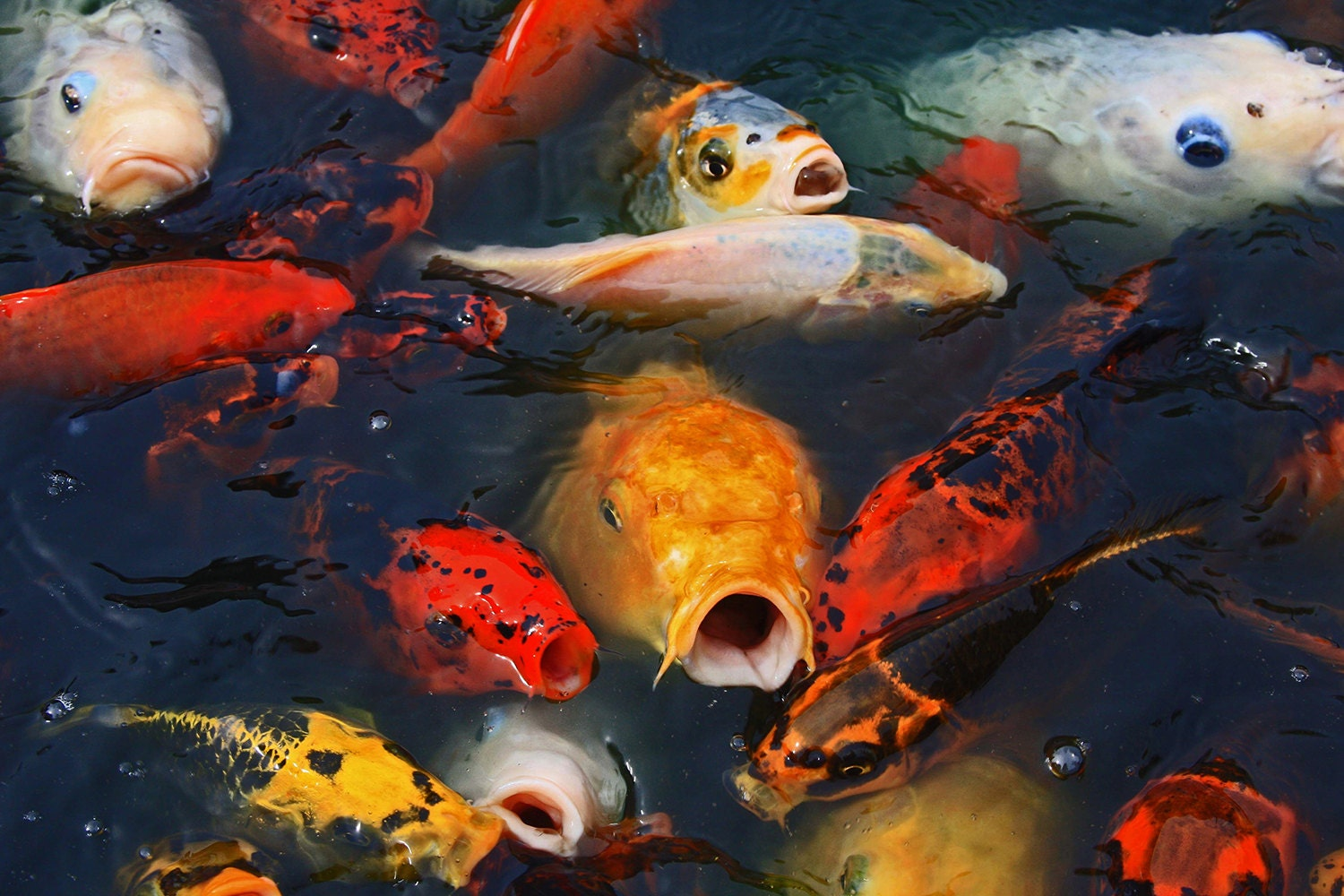 Metal art print feeding frenzy i koi photography for Koi feeding