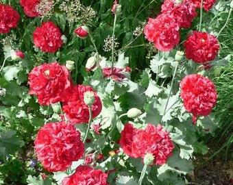 Red Peony Poppy Flower Seeds / Papaver / Annual 100+