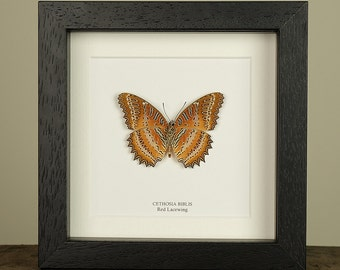 Red Lacewing Butterfly in Box Frame (Cethosia biblis)