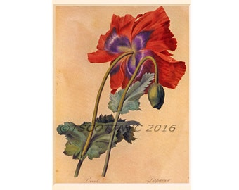 Red poppy, print instantly, digital download,note card, blank,vintage botanical,P J Redoute, reproduction,opium poppy,