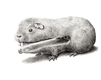 postcard guinea pig