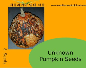 Pumpkin Seeds (Wart Pumpkin) - 5 Seeds