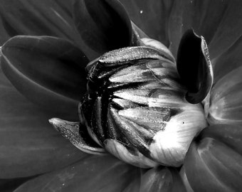 "Black and White Photography | Dahlia | Macro | ""Either Or"""