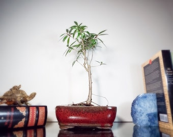Weeping Ficus bonsai in red clay pot. One of the best Ficus to keep indoors! Makes a great desk or office bonsai.