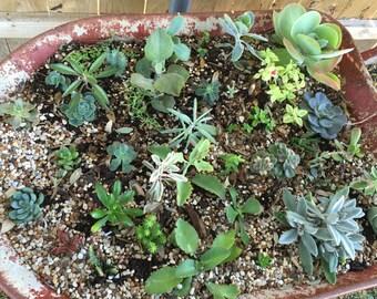 10 succulent, cactus, and sedum cuttings !!