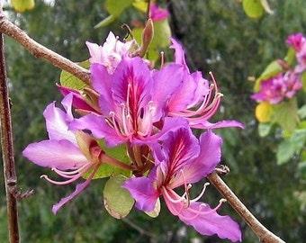 Bauhinia Purpurea, Pink/Purple Orchid Flowering Tree 10 Seeds, Camel's Foot USA