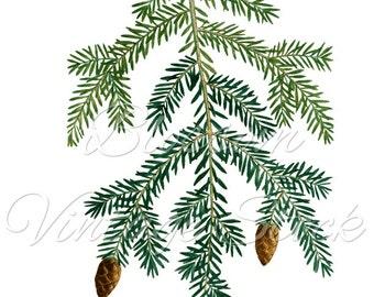 Pine Branch Clipart, Pinecone, Botanical Illustration, Foliage Prints, PNG Image - Digital Antique Illustration  INSTANT DOWNLOAD - 1150