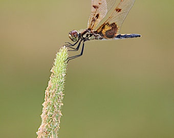 Calico Pennant Dragonfly Photograph
