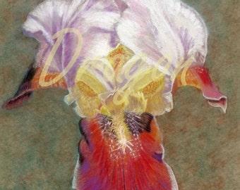 Crimson and Gold Iris