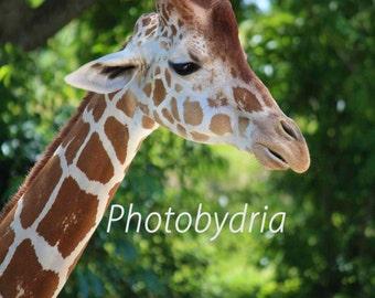 Nature Photography -  Giraffe photo