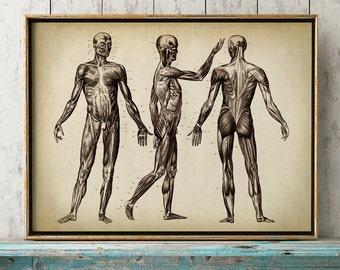 Anatomy print, anatomy poster, muscular system print, human skeleton poster, medical print, anatomical drawing, human anatomy,