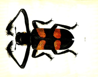 BEETLE Color Illustration - Page from 1960s Vintage Entomology Book Printed in Europe